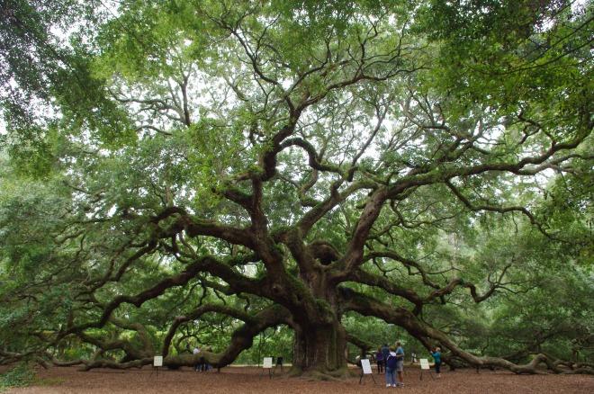 Angel Oak Tree by Carla Kucinski
