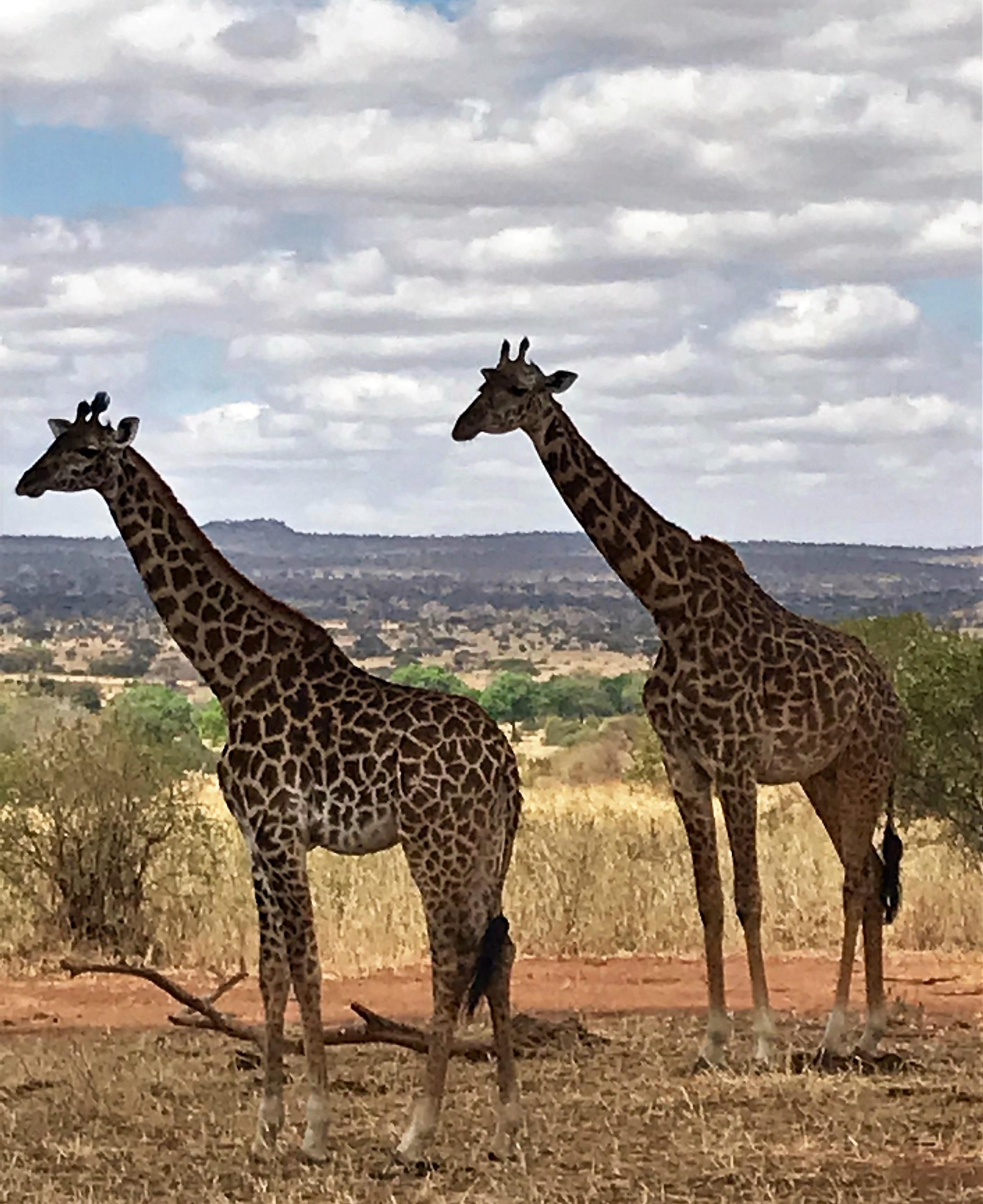 AFRICA DOULBE GIRAFFE