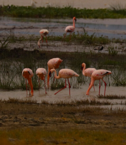 AFRICA FLAMINGO MARGE PHOTO