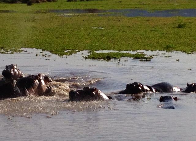 AFRICA HIPPOS SWIMMING