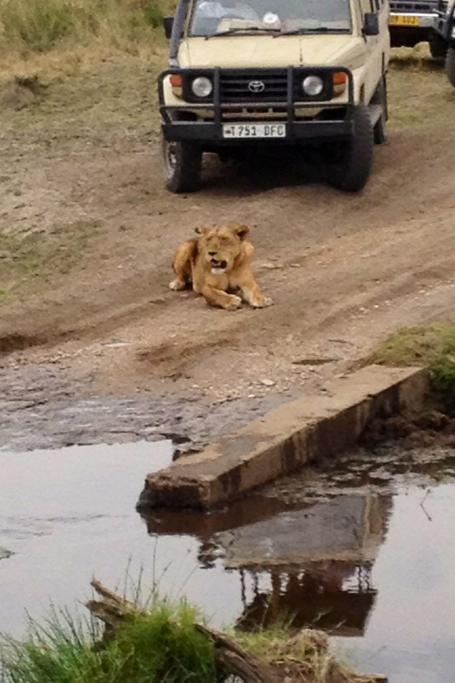 AFRICA LION IN ROAD