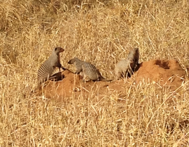AFRICA MONGOOSE