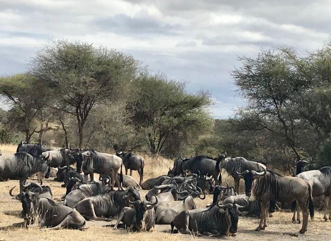 AFRICA WILDEBEAST